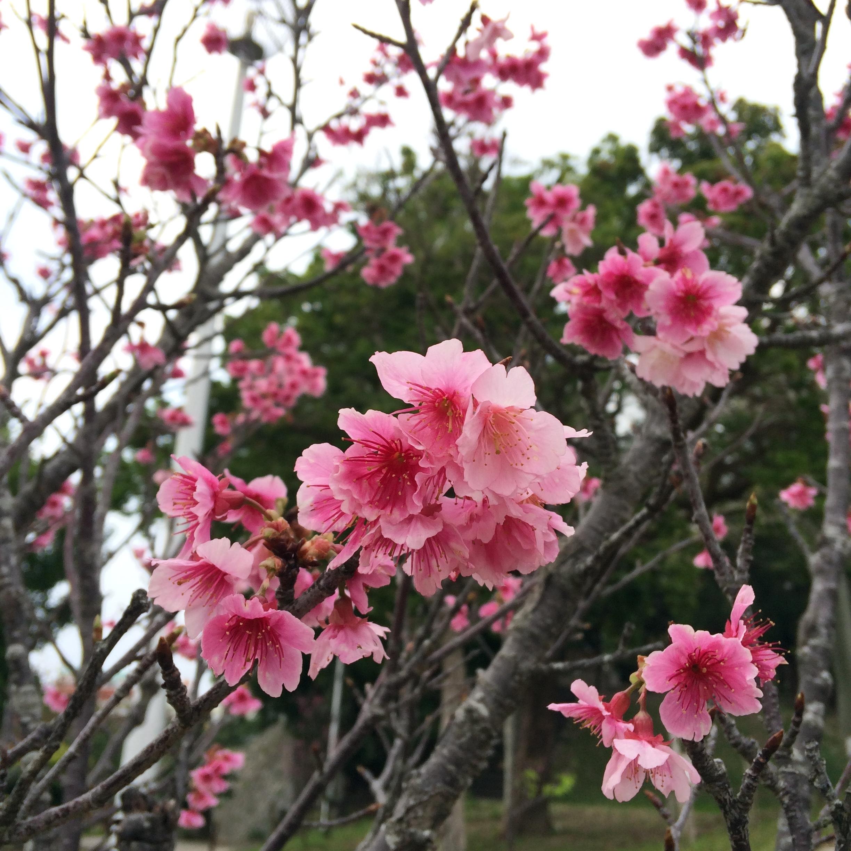 サクラ 沖縄